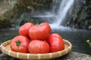 喜界島トマトについて